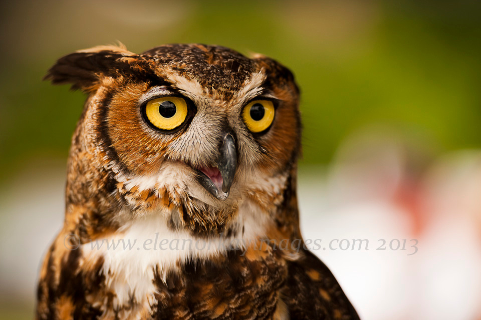 horned owl, maryland