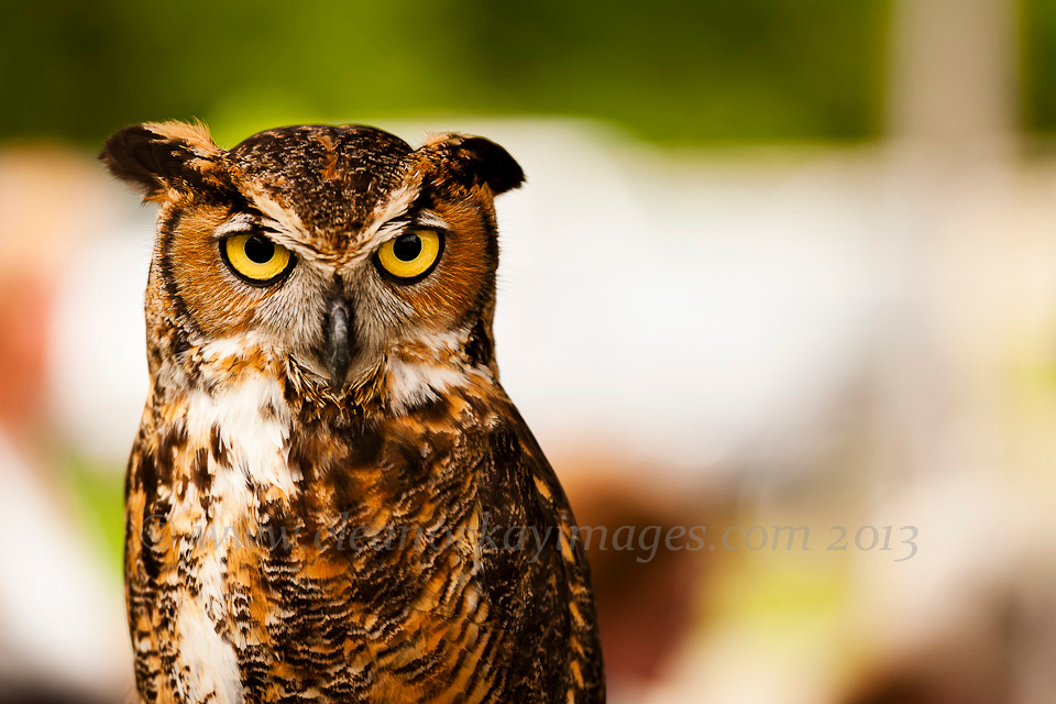 horned owl,maryand,